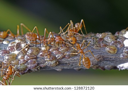 weaver ants are taking care a group of scale insects - stock photo