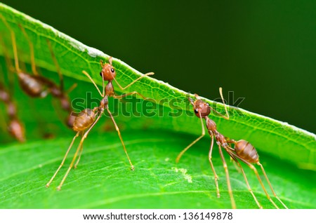 Weaver Ants (Oecophylla smaragdina) are working together to build a nest. - stock photo