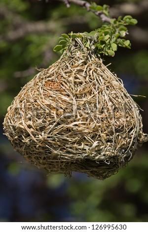 Weaver bird nest - stock photo