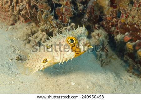 Web Burrfish (Chilomycterus antillarum) Swimming Next to a Patch of Coral Reef - Roatan, Honduras - stock photo