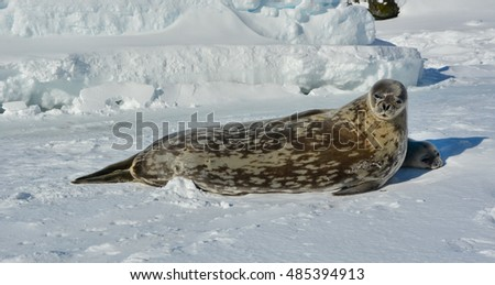 Weddell seal and her cub