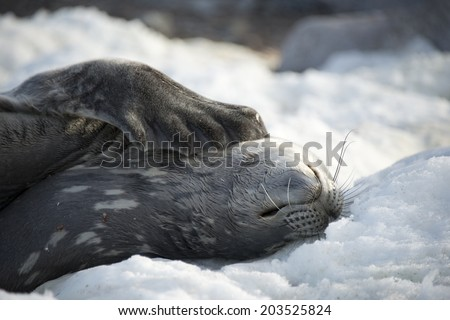 Weddell seal on snow scratching, being lazy, Antarctica - stock photo