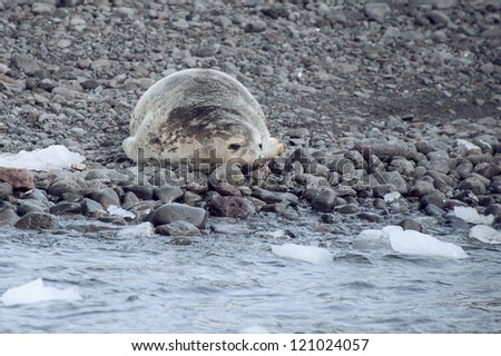 Weddell seal on the beach in Antarctica