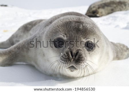 Weddell seal pups on the ice of the Antarctic Peninsula 1 - stock photo
