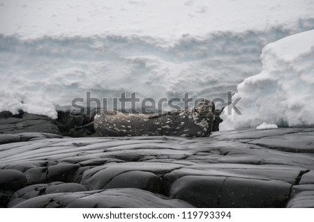 Weddell seal resting on the beach in Antarctica - stock photo