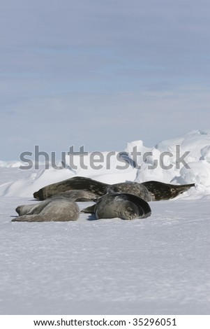 Weddell seals (Leptonychotes weddelli) resting on the sea ice in the Weddell Sea, Antarctica - stock photo