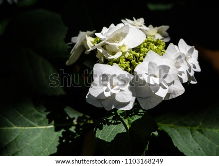 Wedding Gown Hydrangea Stock Photo Royalty Free 1103168249