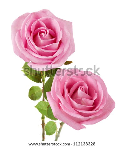 Wedding pink roses bunch isolated on white background - stock photo