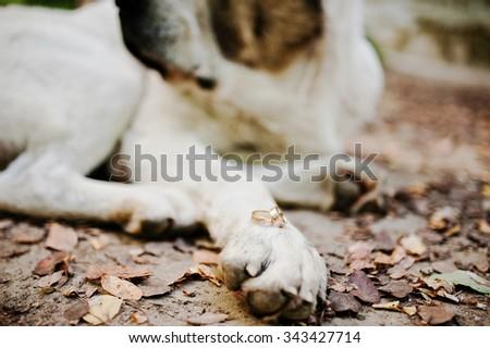 Wedding rings on leg of big dog - stock photo