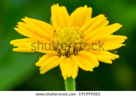 wedelia trilobata, little yellow flower