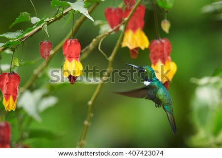 Wedge-billed Hummingbird, Schistes geoffroyi, rare green and blue  hummingbird hovering next to red and yellow flowers shaped like bells in  tropical moist montane forest. Otún, Colombia    - stock photo