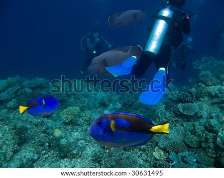 Wedgetailed Blue Tang (Paracanthurus hepatus) swimming over tropical reef.