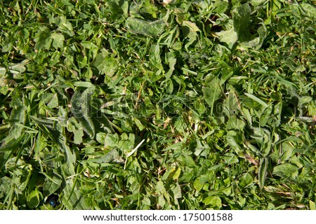 Weed killer needed- lawn where grass is being over taken by weeds and wild flowers. - stock photo