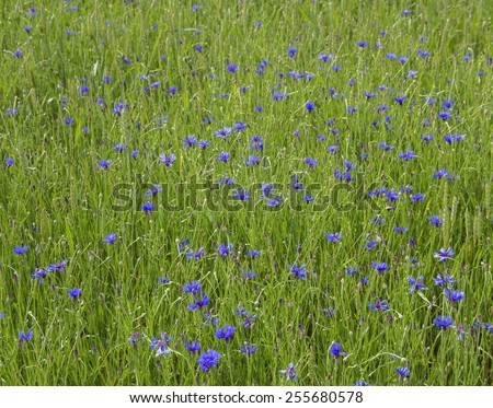 Weed of cornflower in a field. - stock photo