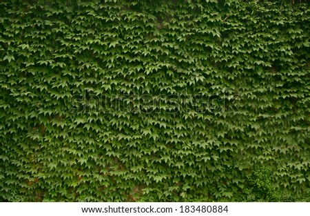 Weed on wall - stock photo