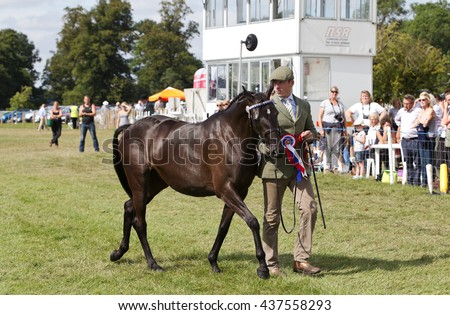 WEEDON, UK - AUGUST 29: A handler parades a young horse around the main show arena for the judges to assess in the Young Horse class at the Bucks County show on August 29, 2013 in Weedon.