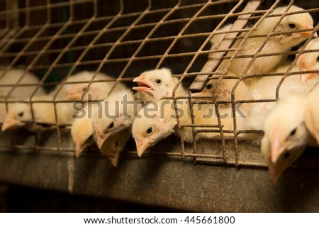 Weekly chickens in a cage. Poultry farm - stock photo