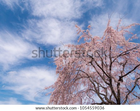 Weeping Cherry Blossoms Blue Sky Cherry Stock Photo 1054559036