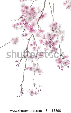 Weeping cherry tree - stock photo