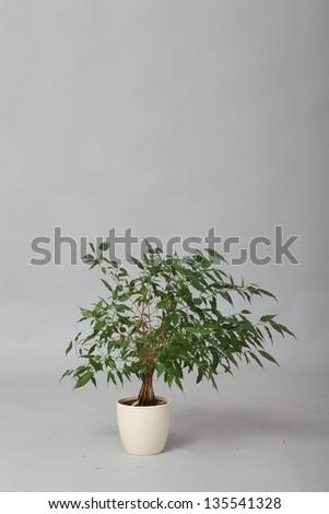 Weeping Fig (Ficus Benjamina) - stock photo