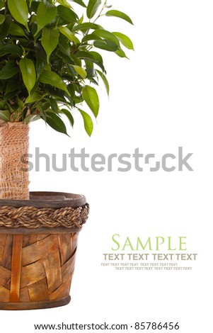 Weeping Fig (Ficus Benjamina) in pot isolated on white background - stock photo