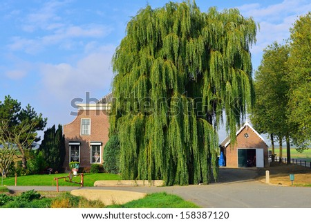 Weeping Golden Willow tree in front of a old farmhouse - stock photo