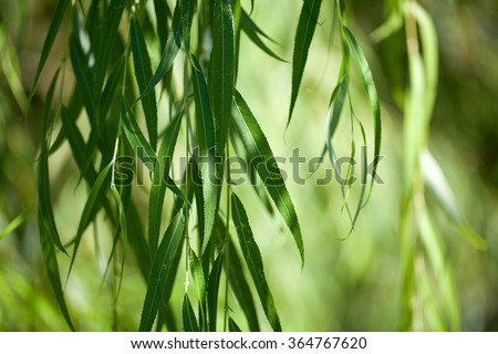 weeping willow background - stock photo