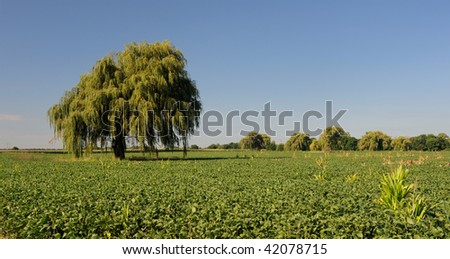 Weeping Willow on Rural Landscape - stock photo