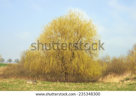 Weeping willow tree - stock photo