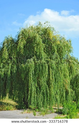 Weeping willow tree in the public park - stock photo