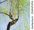 Weeping willow tree with blue sky - stock photo