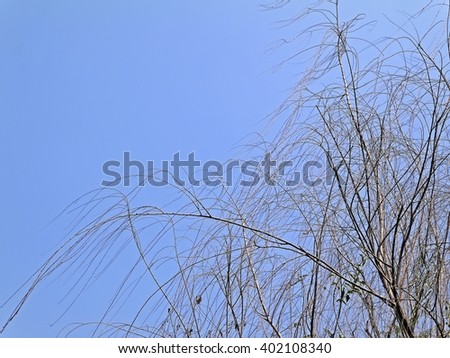 Weeping willow tree with yellow branches in early spring with blue sky. Willow tree not against with the wind look like people who follow trends. Horizontal with copy space. - stock photo