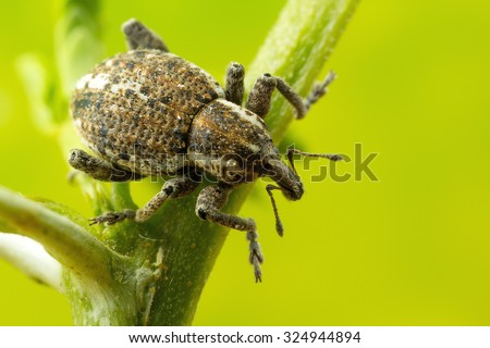 Weevil Beetle close up: larger than life size on sensor - stock photo