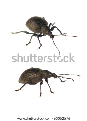 Weevil isolated on white background without shadows (Otiorhynchus salicicola) - stock photo