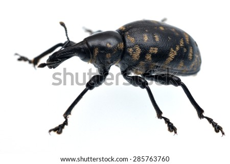 Weevil Liparus glabrirostris (Coleoptera: Curculionidae) - isolated on white. - stock photo