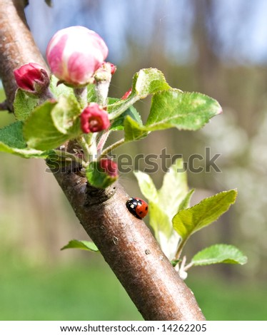 weevil on apple branch with flowers