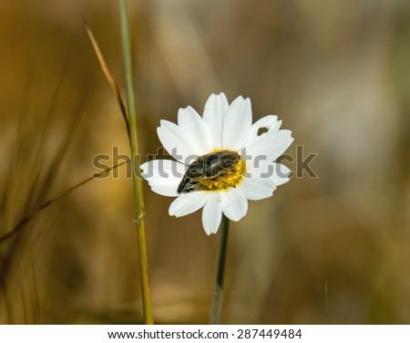 Weevil-type bug on daisy on Lesvos, Greece - stock photo