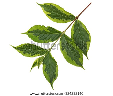 Weigela leaf Ovate oblong with accuminate tip and serrated margin  - stock photo