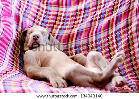 weimaraner blue puppy indoor portrait - stock photo