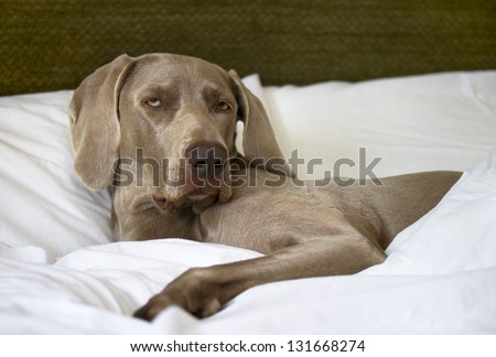 Weimaraner Dog Comfy in Bed - stock photo