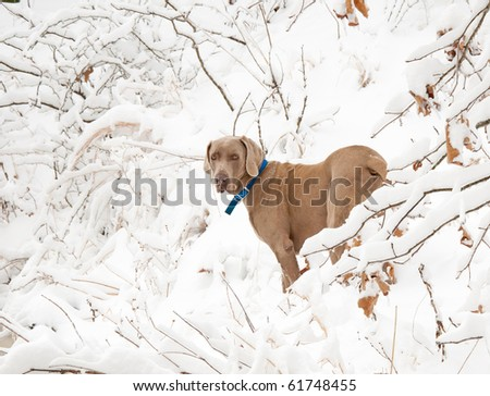 Weimaraner dog in deep snow in winter - stock photo