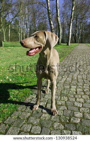 Weimaraner Dog in Park - stock photo