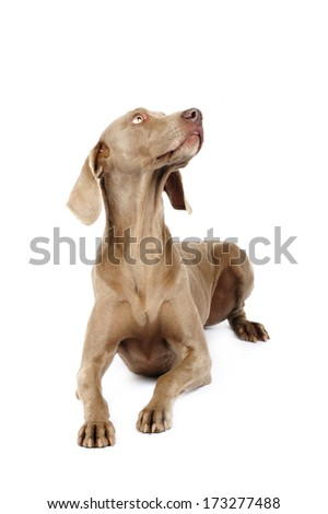 Weimaraner dog in studio