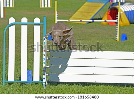 Weimaraner Dog Jumping Over Agility Fence - stock photo