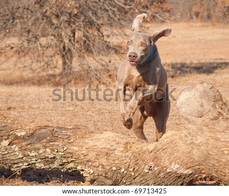Weimaraner dog leaping over a big log - stock photo