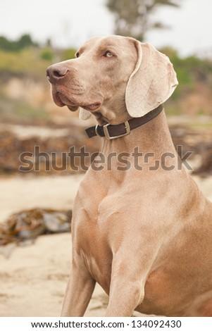 Weimaraner dog on the beach. San Simeon. USA. California. - stock photo