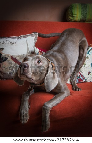 Weimaraner dog on the couch - stock photo