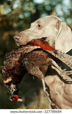 weimaraner dog pheasant hunting - stock photo