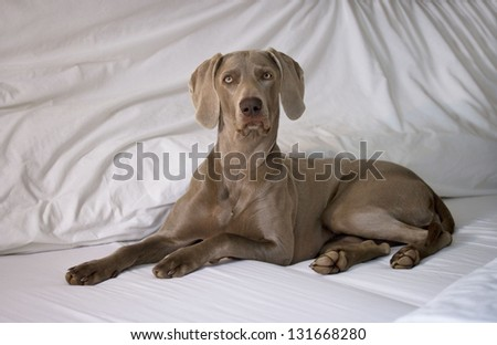 Weimaraner Dog relaxing on Bed - stock photo