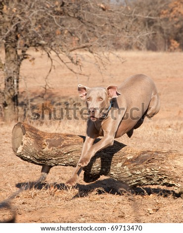Weimaraner dog running and jumping over a large tree trunk - stock photo